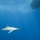 A new shark for the Saba Bank