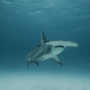 Measuring Hammerhead Sharks with Lasers